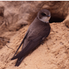 Sand Martin by Lawrence G Baxter